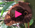 belize butterfly video