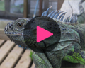 belize green iguana video