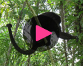 belize howler monkey video