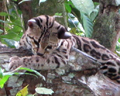 Belize Zoo margay
