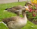 geese regents park