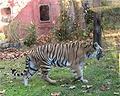 tiger roaming in disney's animal kingdom