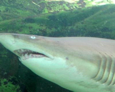shark sydney aquarium