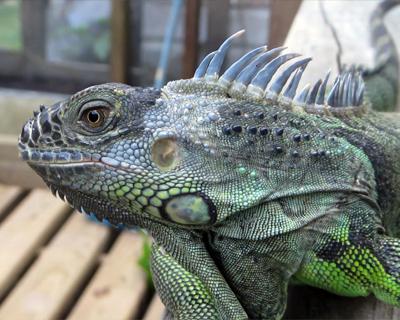green iguana san ignacio belize