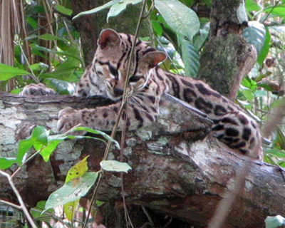 margay belize zoo