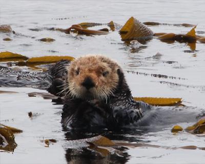 morro bay california sea otters