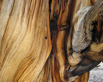 bristlecone pine tree bark