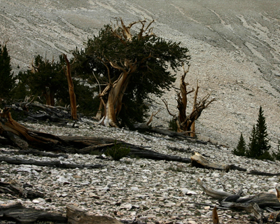bristlecone pine trees in harsh soil