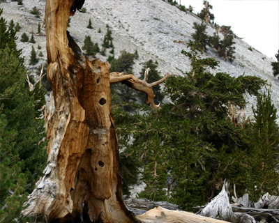 bristlecone pine tree ancient
