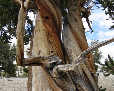 california bristlecone pine forest