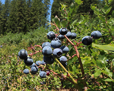 apple hill farms u-pick blueberries