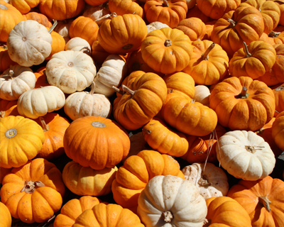mini pumpkins apple hill