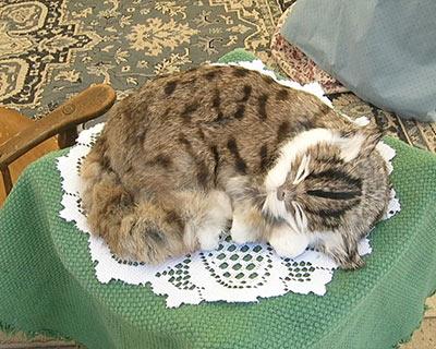 sacramento gold rush days cat curled up