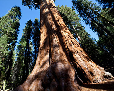 sequoia redwoods