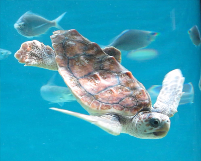 monterey bay aquarium baby loggerhead turtle