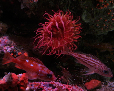 monterey bay aquarium red sea anemone