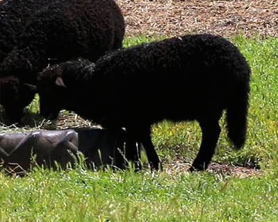 black sheep connolly ranch napa california