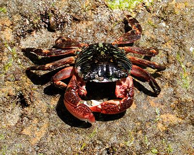 tidepools crab la jolla