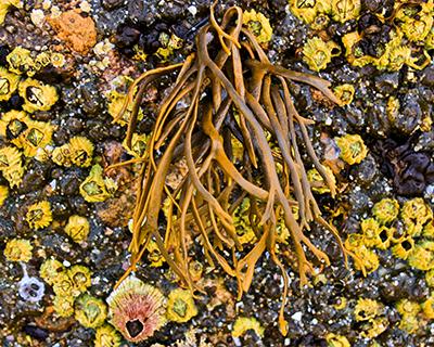 barnacles tidepools la joll