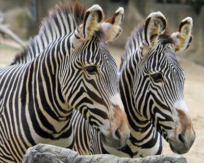 zebras san diego zoo