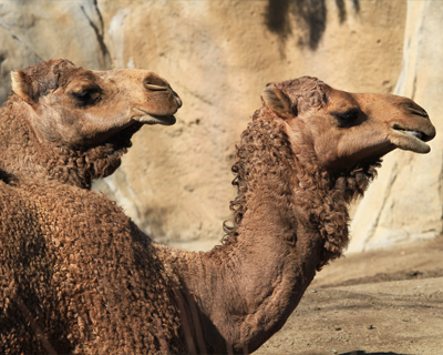 san diego zoo camels