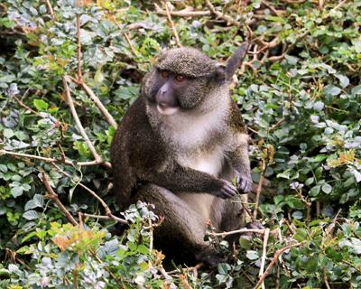 san diego zoo guenon monkey