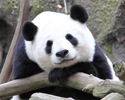 san diego zoo giant panda
