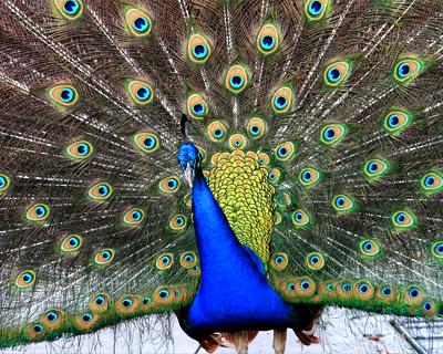 san diego zoo peacock