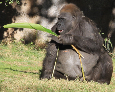 gorilla snacking on a leaf san diego zoo safari park