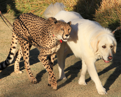 cheetah and dog friend san diego zoo safari park