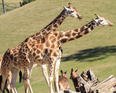 giraffes san diego zoo safari park