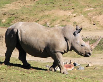 san diego zoo safari park white rhino
