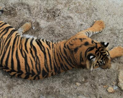 sumatran tiger san diego zoo safari park