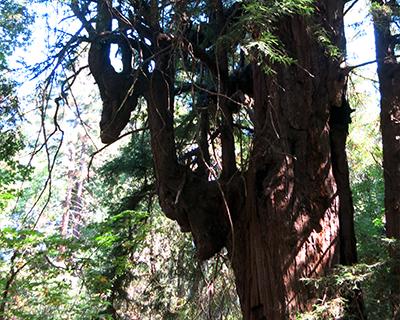 ancient redwood jack london state park