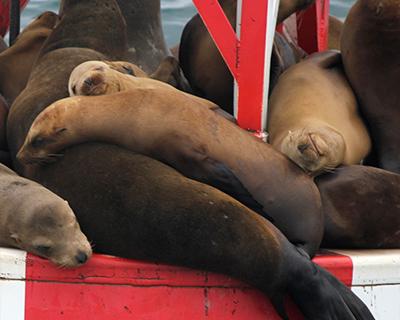 sea lions newport beach