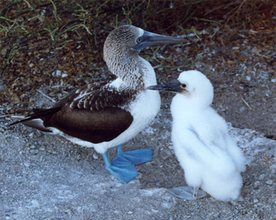 blue footed booby white chick galapagos islands ecuador