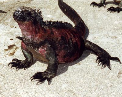 ecuador galapagos islands marine iguana