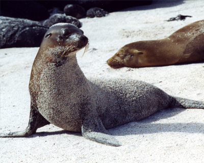sea lions galapagos islands ecaudor