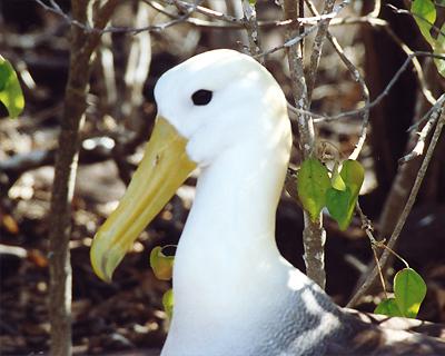 waved albatross galapagos islands ecuador