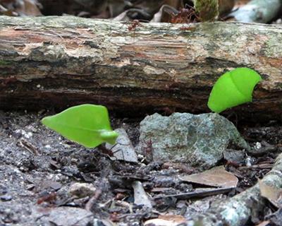 tikal leaf cutter ants