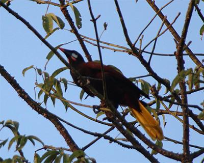 tikal oropendula bird