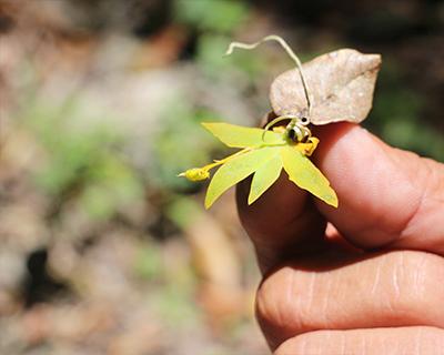 tikal tiny orchid