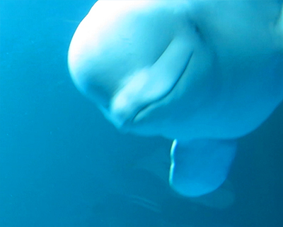white beluga whale shedd aquarium