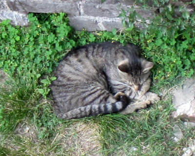 sforza castle sleeping cat