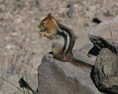 crater lake golden mantled ground squirrel