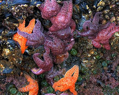colorful sea stars oregon coast
