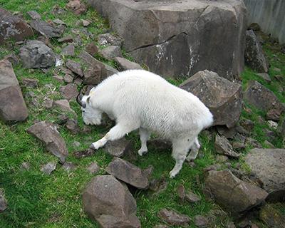 mountain goat oregon zoo