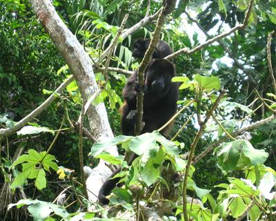 panama howler monkeys