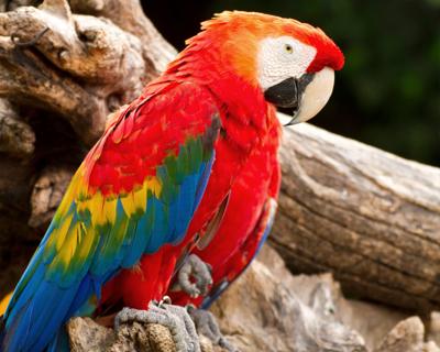 panama scarlet macaw