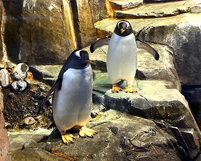 gentoo penguins biodome montreal